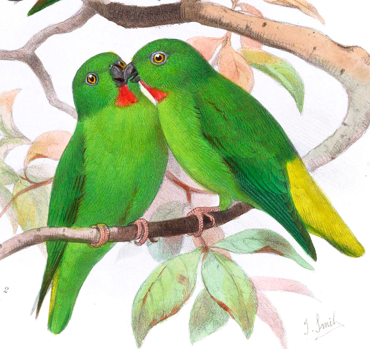 Green-fronted Hanging Parrot