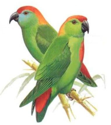 Black-billed Hanging Parrot