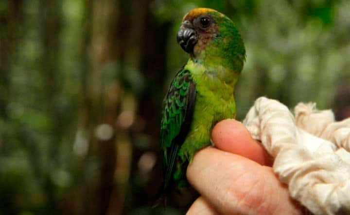 Buff-faced Pygmy-Parrot