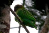 Yellow-capped Pygmy-Parrot