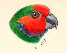 Diophthalma diophthalma aruensis - male