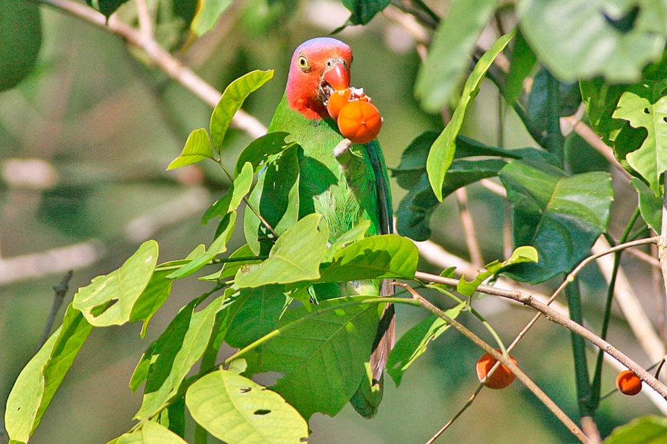 Red-checked Parrot