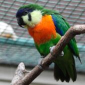 Orange-breasted Fig-Parrot