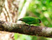 Finsch's Pygmy-Parrot