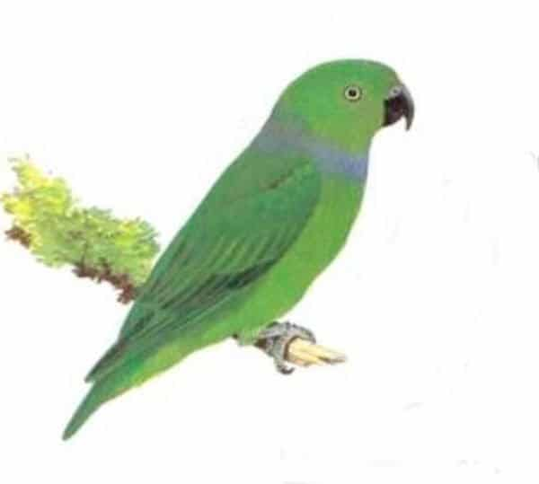 Blue-collared Parrot