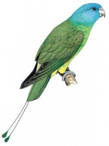 Blue-headed Racquet-tail