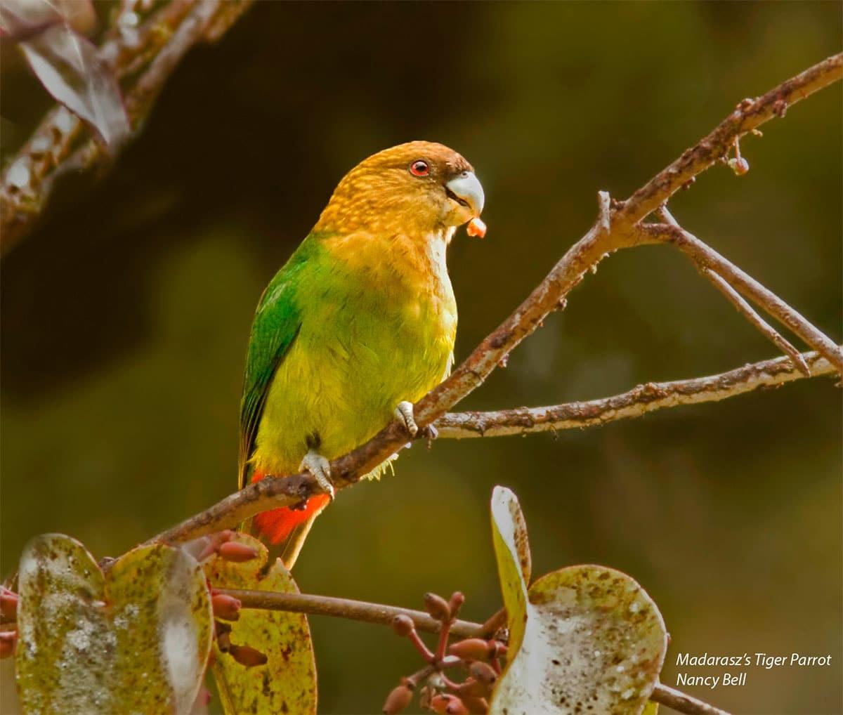 Madarasz's Tiger-Parrot