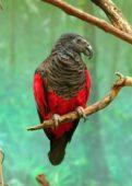 Papagaio-de-pesquet