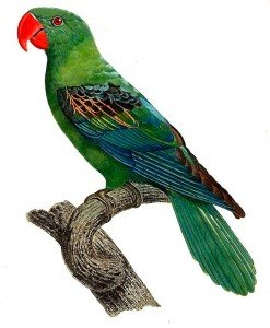 Great-billed Parrot