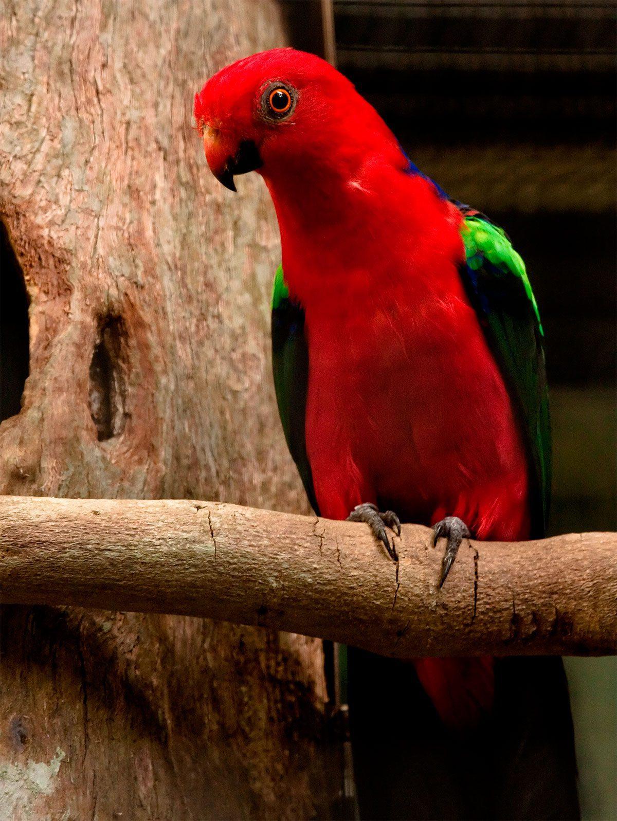 Papagayo Papú