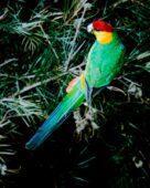 Periquito-cabeça-púrpura