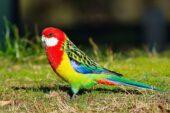 Rosela-multicolorida