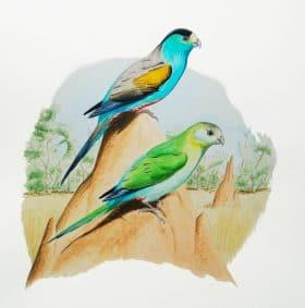 Periquito-de-asas-douradas