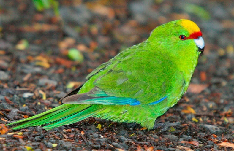 Yellow-fronted Parakeet