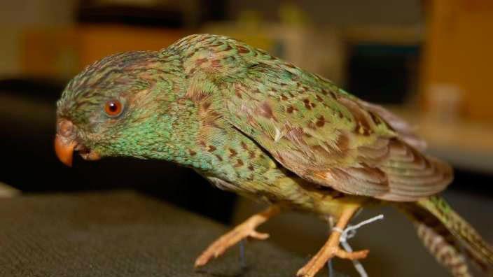 Höhlensittich (Pezoporus occidentalis) - Exotische Vögel | Haustiere