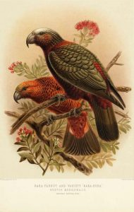 Illustration of a Kaka.