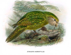 Illustration Kakapo