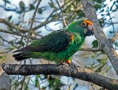 Red-fronted Parrot