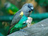 Papagaio de Meyer