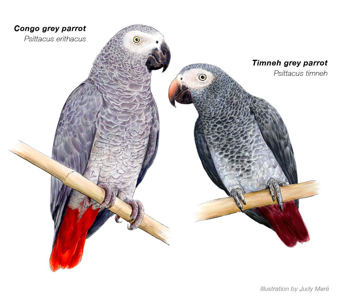 congo african grey I have a congo african grey parrot named bingo bingo and i have been together for 11 years bingo was born in 2000 and is about 11 years old (about the age of a human teenager).