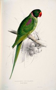 Illustration de perroquet Alexandrine