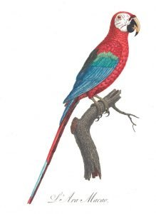 Winged Macaw, illustration