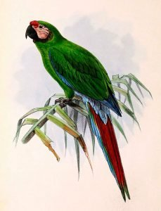 Illustration military Macaw