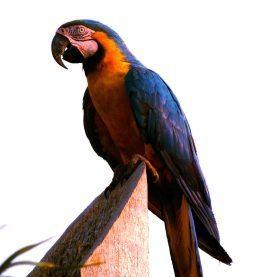 Guacamayo azuliamarillo