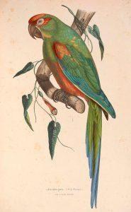 Ilustración Guacamayo de Cochabamba