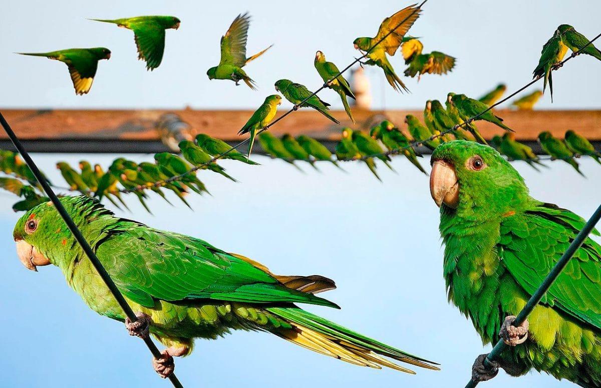 Aratinga Verde