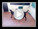 The Dogo-espanol