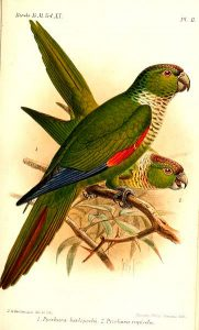 Black-capped Parakeet