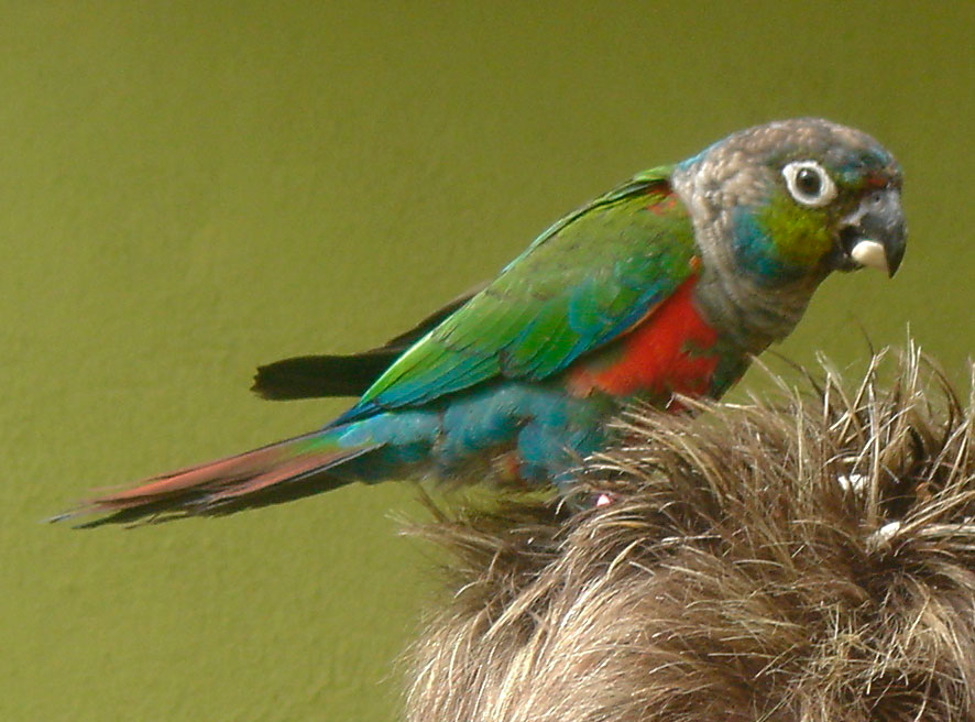 Conure à ventre rouge