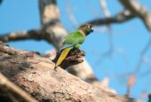 Blaze-winged Parakeet