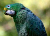 Amazona harinosa sureña