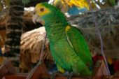 Yellow-shouldered Parrot
