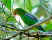 Brown-backed Parrotlet