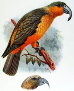 Kākā-de-norfolk