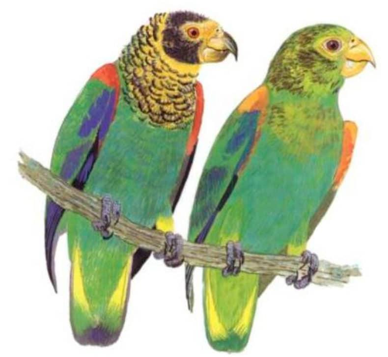 Vulturine Parrot
