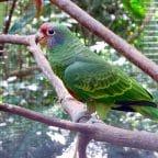 Amazona Colirroja