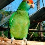 Amazona Coronirroja