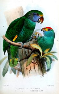 Red-browed Parrot