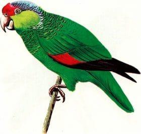 Papagaio-de-finsch