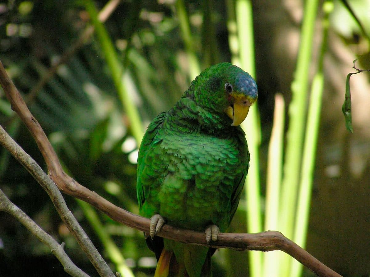 Amazona Yucateca