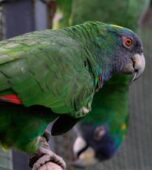 Amazona-gorjirroja-(1)