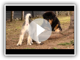 Alaskan Malamute puppy playing with Tibetan Mastiffs