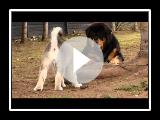 Alaskan Malamute puppy playing with Tibetan Mastiffs
