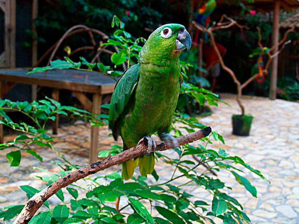 Northern Mealy Parrot