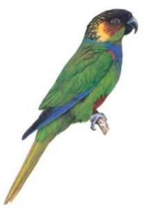 Blue-throated Parakeet