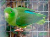 Türkisflügel-Sperlingspapagei